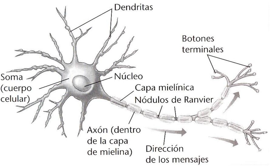 4. Bases biológicas del comportamiento | PS